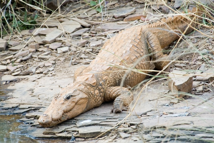 main_mugger_crocodil_012819050511.jpg