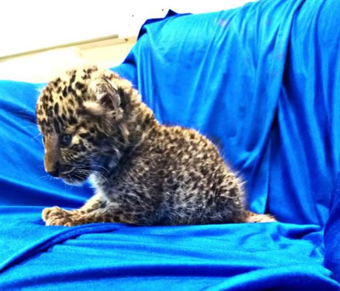Leopard cub discovered in passenger's luggage at Indian airport