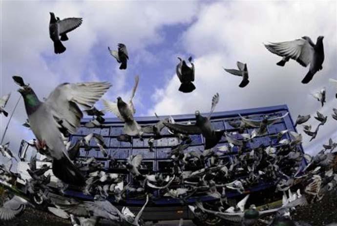 main_pigeon-racing_041519033251.jpg