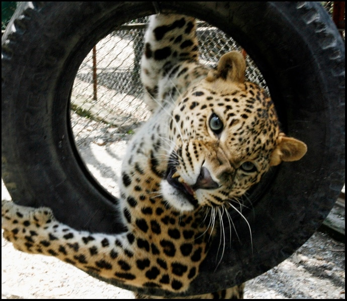A leopard plays with a tyre. Photo: Reuters