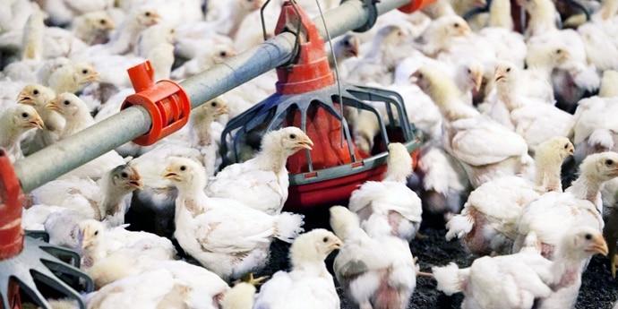 poultry_690_040820010550.jpg