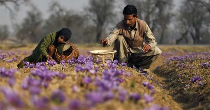 main_kashmir-saffron_050520111258.jpg