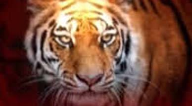 Savage humans kill tiger: We rejoice over the tiger census, but what about the Pilibhit mob murdering a tiger?