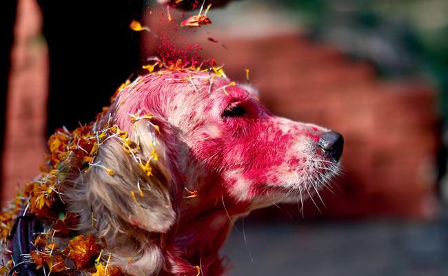 नेपाल, कुकुर तिहार, कुत्ते, पूजा, त्योहार