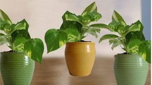 मच्छर-प्रदूषण से परेशान हर घर में होने चाहिए ये पौधे