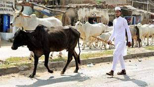 इंसान को छोड़िए... गाय हिंदू और बकरी मुसलमान हो गई!