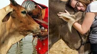 अमेरिका में गाय को गले लगाने के लिए 200 डॉलर क्यों दे रहे लोग, भारत में ऐसा हो तो?