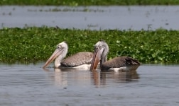 Morigaon  A pair of Spot billed pelicans seen swimming through the waters of a pond at the Pobitora Wildlife Sanctuary in Assams Morigaon district on April 17  2019  Photo  IANS