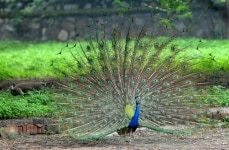 Peacock Dances in Zoo