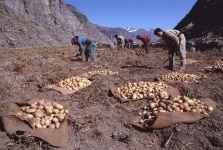 Potato Harvesting by Farmers in Lahaul and Spiti Valley