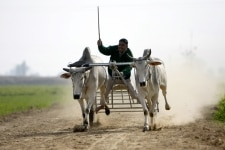 Cart Race in Punjab
