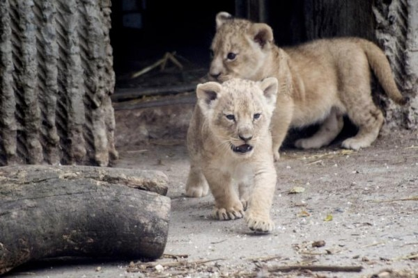 Lion cubs enter a lion enclosure for the first time in Copenhagen Zoo in this July 17, 2013 file photograph provided by Scanpix. Copenhagen Zoo euthanised four healthy lions on March 24, 2014 just a few weeks after putting down and publicly dissecting a young giraffe, causing outrage among animal lovers around the world. The zoo said it had killed a 16-year old male lion, a lioness of around the same age and two younger females after a new male lion arrived on Sunday as part of a programme to renew the zoo's breeding stock. Scanpix could not confirm if the lions in the photo were the ones killed. REUTERS/Mads Nissen/Scanpix (DENMARK - Tags: ANIMALS SOCIETY) FOR EDITORIAL USE ONLY. NOT FOR SALE FOR MARKETING OR ADVERTISING CAMPAIGNS. THIS IMAGE HAS BEEN SUPPLIED BY A THIRD PARTY. IT IS DISTRIBUTED, EXACTLY AS RECEIVED BY REUTERS, AS A SERVICE TO CLIENTS. DENMARK OUT. NO COMMERCIAL OR EDITORIAL SALES IN DENMARK