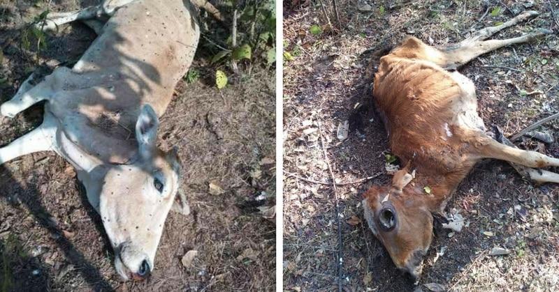 छत्तीगढ़ की गोशाला में कई गायों की मौत हुई है.