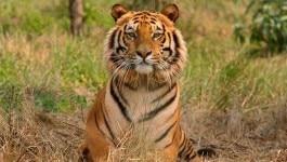 ग़ज़ब! गोवा के विधायक बोले, 'गाय खाने पर टाइगर को भी सज़ा दो'