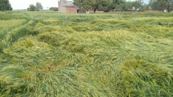 Corona Diaries Wheat Crops Destroyed