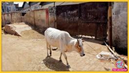 जो केरल में हथिनी के साथ हुआ था, अब वही हिमाचल में गाय के साथ हो गया!