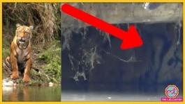 बकरी के बाड़े में दुबके हुए बाघ का वीडियो वायरल, आखिर माजरा क्या है!