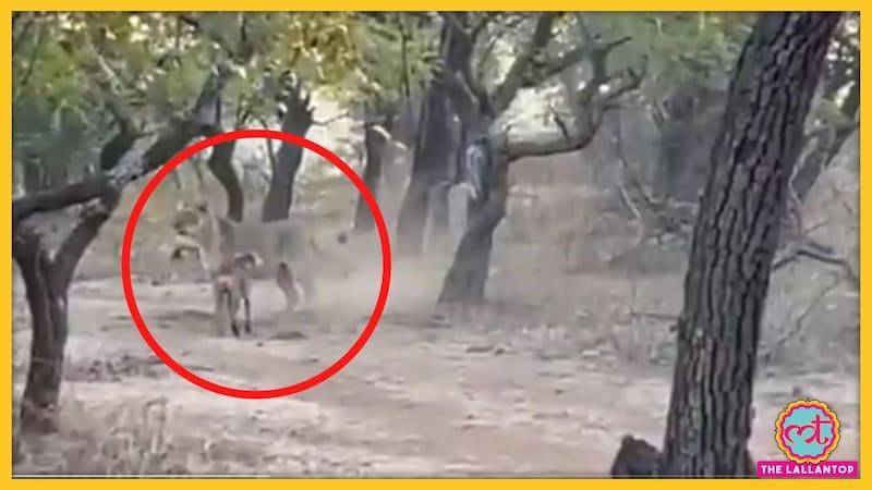 एक कुत्ते ने शेरनी को कैसे खदेड़ दिया, वजह चौंकाने वाली है