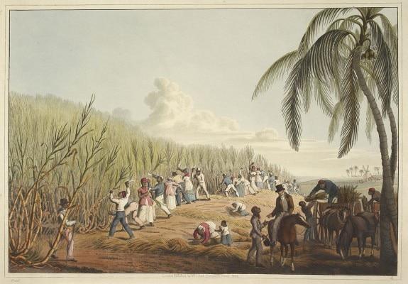 Sugarcane Agricultue