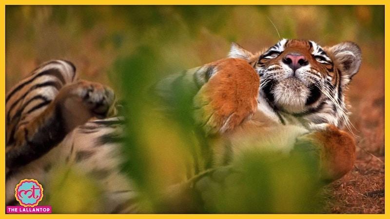 वो बांधवगढ़ की सबसे सुंदर बाघिन थी, शिकारियों ने कुल्हाड़ी से काट डाला