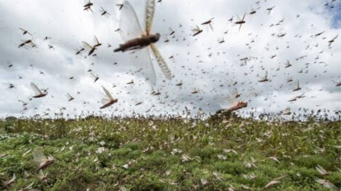 India And Locust Invasions: 10 Facts You Should Know From History
