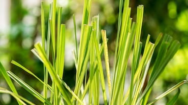 Lemongrass: All That You Need To Know About This Wonder Herb Is Here